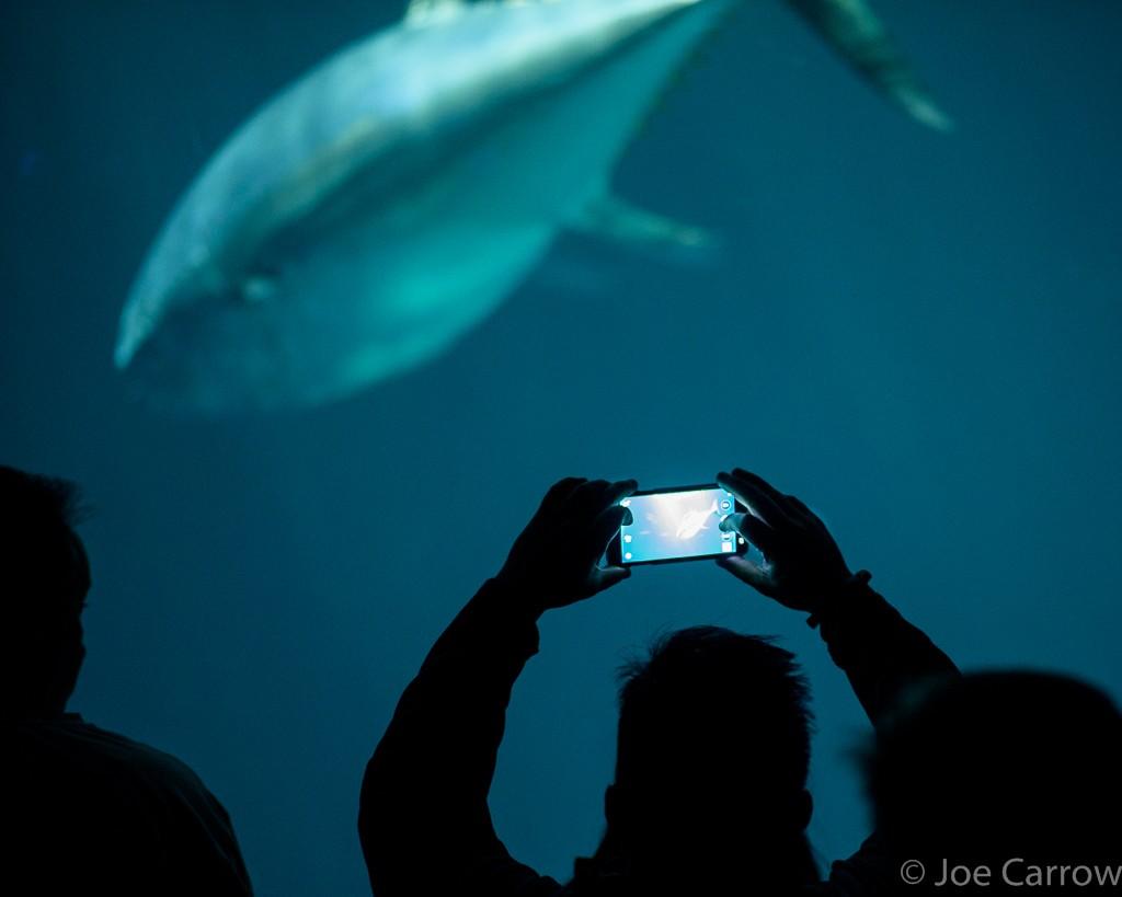 A large tuna